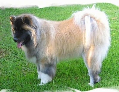 The left side of a tan with black long haired Akita that is standing on a lawn with its tongue out.
