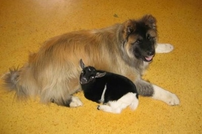 Top down view of a tan with black longcoated Akita that is laying down next to a baby goat