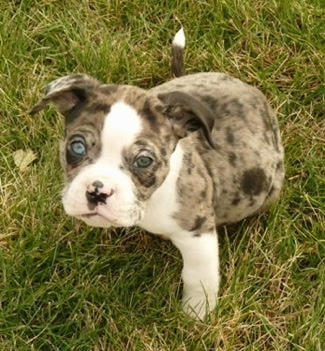 Top down view of a merle blue-eyed Alapaha Blue Blood Bulldog puppy that is sitting on grass