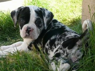 The back left side of a merle with white Alapaha Blue Blood Bulldog Puppy that is laying on grass next to a house and it is looking forward.