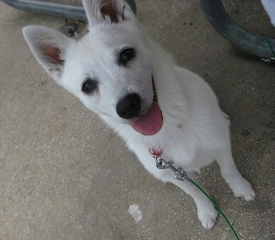 Eight month old white Alaskan Klee Kai.