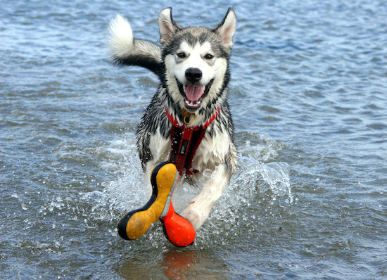 A black with white Alaskan Malamute is running in a body of water wearing a harness