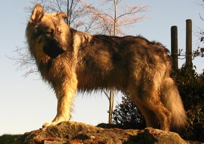 The left side of a tan and black American Alsatian that is standing across a big rock and it is looking to the right.