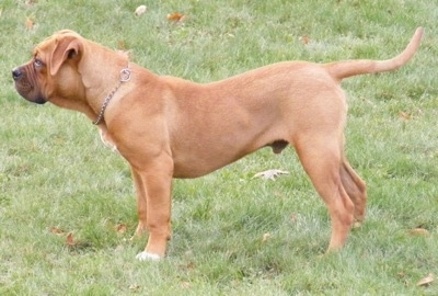 The left side of a red American Bull Dogue de Bordeaux puppy that is standing across a yard.