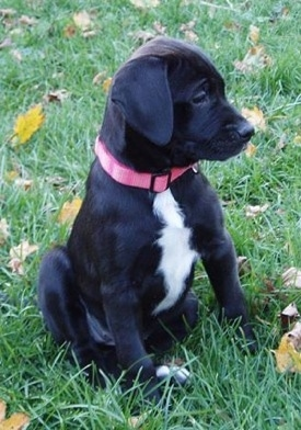 Hector the American Bulldog / Black Labrador mix (American Bullador)