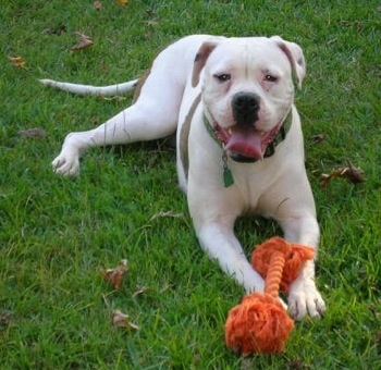 Carson the American Bulldog laying on grass with a an orange dog rope toy