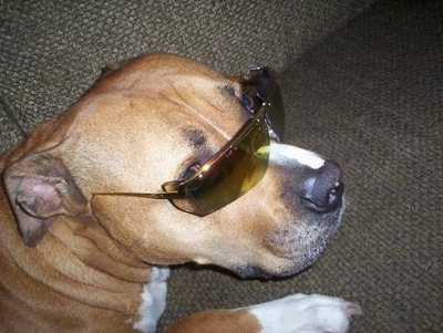 Close up - The back right side of a tan with white American Bulldog that is laying across a couch and it has sunglasses on.