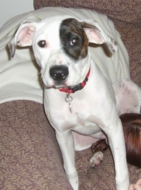 A white with black and brown American Bulldog mix is sitting on a couch. The dog is mostly white with a black brindle patch over its right eye.
