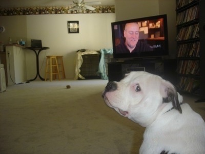 The back left side of a white with black American Bulldog that is sitting on a carpet, in front of a TV and it is looking forward.