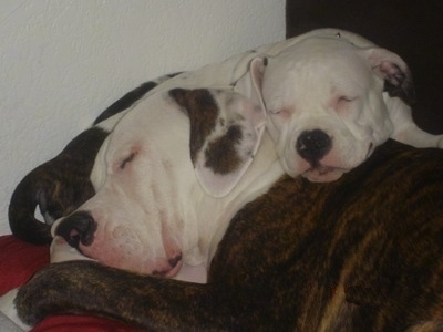 The right side of an American Bulldog puppy that is sleeping on top of an American bulldog that is sleeping.