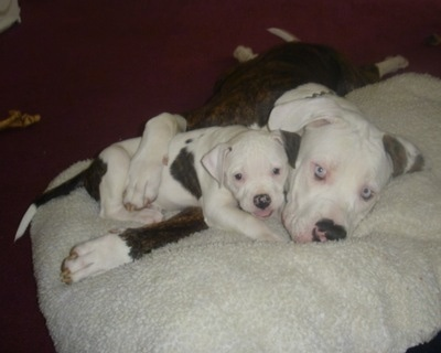 The right side of an American Bulldog puppy that is laying under the arm of an American bulldog.