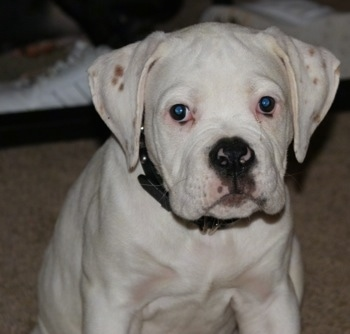 Topdown view of a white with brown American Bulldog Puppy is sitting on carpet and there is a bed behind it.