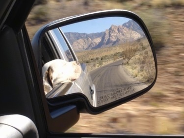 A Mirror Picture of an American Bulldog with its head out of a car window.