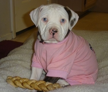 The front left side of an American Bulldog puppy that is wearing a pink shirt, it has a dog toy in front of it and it is looking forward.
