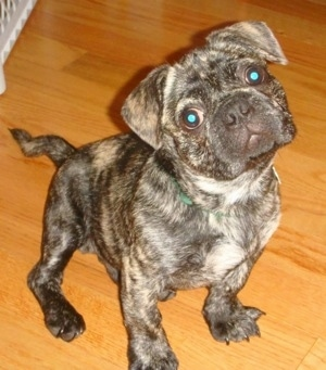 Topdown view of a brindle American Bullnese puppy that is sitting on a hardwood floor and his head is tilted to the left