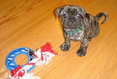 The front left side of a brindle American Bullnese puppy sitting on a hardwood floor in front of a dog toy