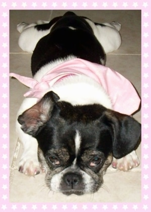 A black with white American Bullnese is laying down on a tiled floor and it is wearing a light pink bandana