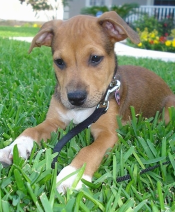 The front left side of a brown with white American Bullweiler puppy that is laying on grass, there are flowers behind it and it is looking down at the grass in front of it.