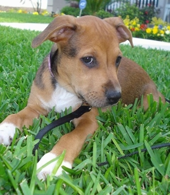 The front left side of a brown with white American Bullweiler puppy that is laying on grass. Ite head is turned to the right, but it is looking forward.