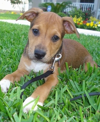 The front left side of a brown with white American Bullweiler puppy that is laying on grass and there are flowers behind it.