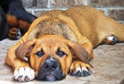A red with white American Bullweiler is laying down on a concrete surface. There is another dog laying behind it.