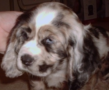 Close Up - The front left side of a parti merle colored American Cocker Spaniel puppy with blue eyes. A person is touching the side of its head.
