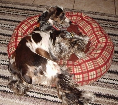 The left side of a parti merle colored  American Cocker Spaniel is laying in a dog bed