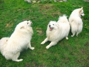 Three white American Eskimo dogs are playing around on grass