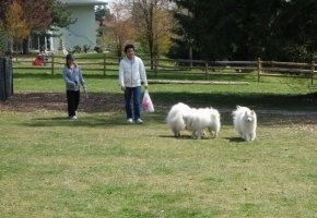 Three American Eskimo dogs are playing around on grass with people, a fence and a house behind them.