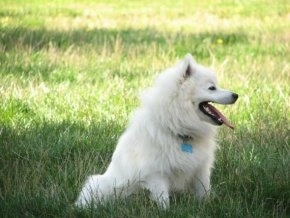A white American Eskimo Dog is sitting on grass with its mouth open and tongue out