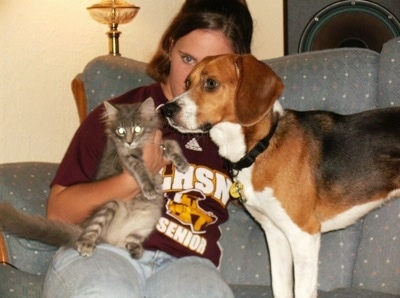 Chevy the American Foxhound standing on a couch next to a lady holding a cat