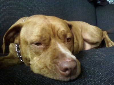 Close up - A red-nose Pit Bull Terrier is laying down on a couch.