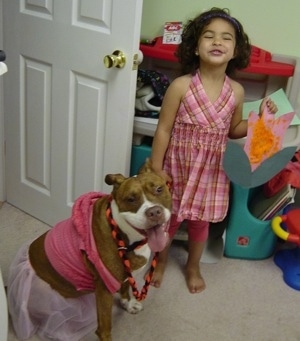 The front right side of a brown with white Pit Bull Terrier that is sitting in a room wearing a dress with its tongue out and mouth open. There is little girl standing next to the puppy.