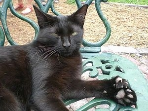 Mittens a Polydactyl cat is laying outside on a green metal park bench