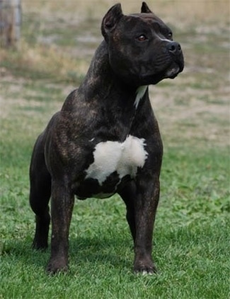 Gaff's Thief Of Gold the brindle with white American Staffordshire Terrier standing on a lawn