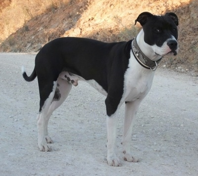 The right side of a black and white American Staffordshire Terrier that is standing on a gravel road next to a hill and it is looking to the right.