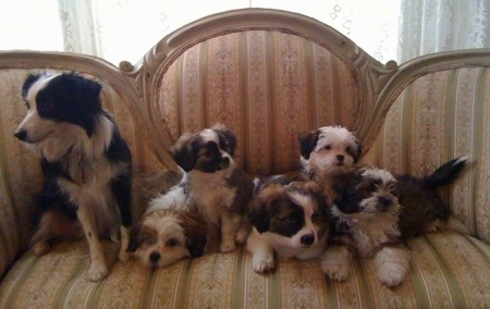 A Litter of five Auss-Tzu puppies are sitting, next to a Miniature Australian Shepherd on the left. They are sitting on a couch.