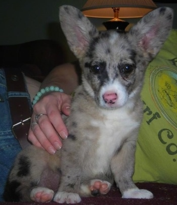 Furby the Miniature Australian Shepherd / Pembroke Welsh Corgi cross puppy at 10 weeks old.