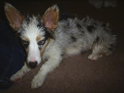 Abby the Aussie-Corgi at about 7 months old. She is wet in this picture.
