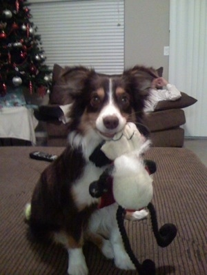 Aussie-Corgi sitting down with plush doll in mouth and a Christmas tree in the background