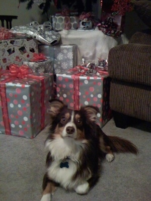 Aussie-Corgi laying behind a lot of gifts
