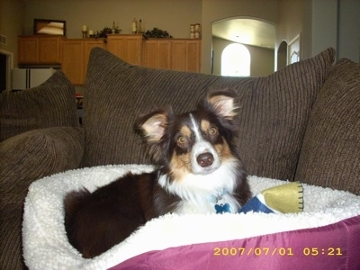 Aussie-Corgi laying on a dog bed on a couch