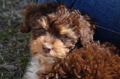 Fozzy, a Toy Aussiepoo puppy shown here at 10 weeks old.