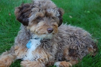 Side view - A wavy-coated brown with tan and white Miniature Aussiepoo is sitting outside in grass and looking to the left of its body.