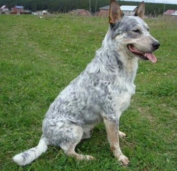 The right side of a blue-speckled Australian Cattle Dog that has its mouth open and tongue out. It is sitting in a field and it is looking to the right.