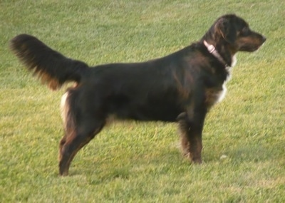 The right side of a black with white and tan Australian Retriever that is standing across a lawn with its tail up.