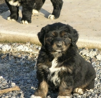 The front left side of a black with tan and white Australian Retriever puppy that is sitting on tiny rocks in front of a sidewalk. There is another puppy standing behind it.