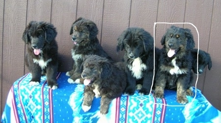 A Litter of Australian Retriever puppies that are sitting on a table, that is outside and in front of a wooden fence.