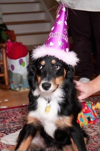 A black with white and tan Australian Shepherd puppy is wearing a purple birthday hat and it is sitting on a rug. There is a persons hand touching the back of the puppy.
