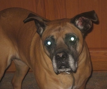 Close Up - Lacy Ann Price the Boxer standing in a house in front of a wooden cabinet and looking at the camera holder